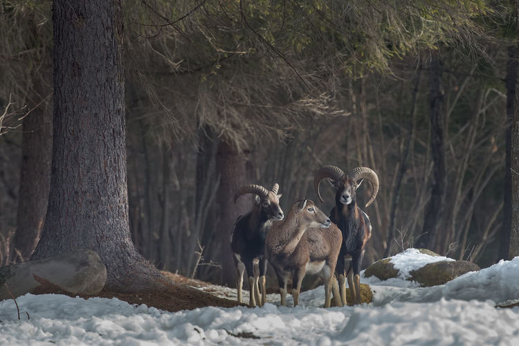 Goats standing on field during winter