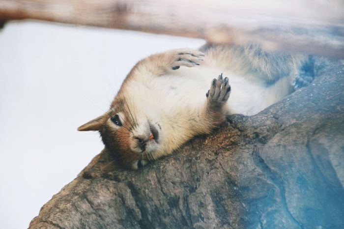 Denizli Denizlicamlik Turkey Animal Squarrel Lookatme Eyes Laying Down Tired Tired Eyes