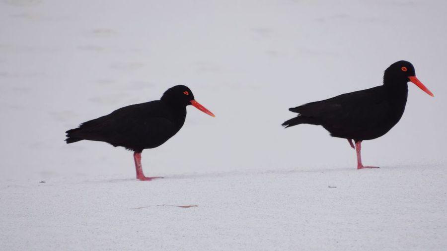 Birds Black Birds Red Beaks On Sand Dunes White Sand Dunes