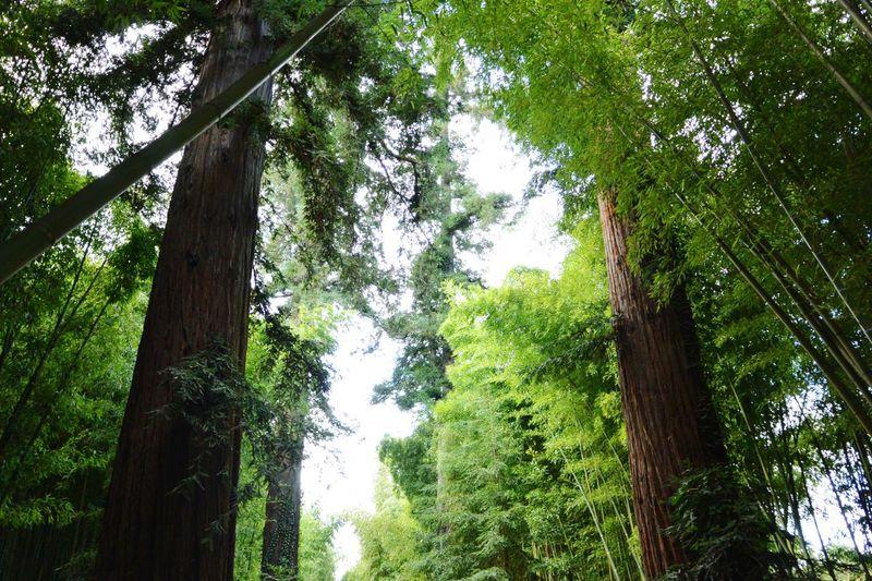 Le carré VIP des séquoias Sequoia Trees  La Bambouseraie Anduze Holiday Memories South France