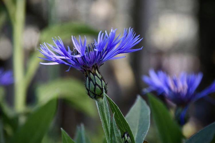 Close-up Blue Freshness Day Purple Plant Flower Flower Head EyeEm Nature Lover EyeEm Flower Eyeem Flower Collection Mountain Bluet