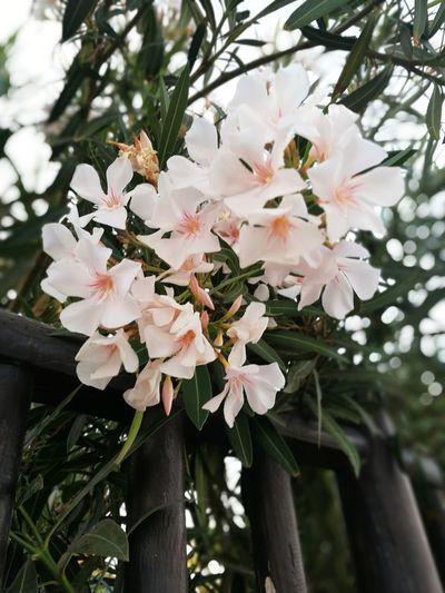 Flower Head Tree Flower Branch Springtime Pink Color Petal Blossom White Color Apple Blossom Fruit Tree