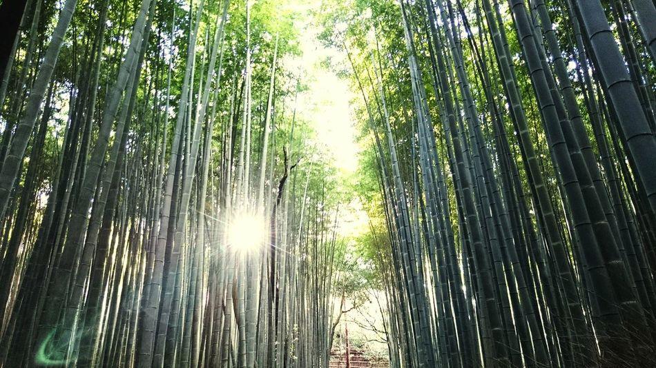XperiaZ3 Komorebi Bamboo Forest JapanNature Travel ASIA Kyoto Arashiyama Arashiyama Bamboo Grove 木漏れ日 こもれび Sunray Earth Leaves Rashomon Showcase: February Ultimate Japan