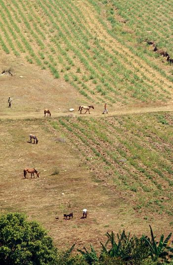 Socialism Agriculture Field Work Horses Sugarcane Sugar Cane Field Nature Large Group Of Animals High Angle View Landscape Field Animal Themes Mammal Day Outdoors Grazing Agriculture Scenics Domestic Animals