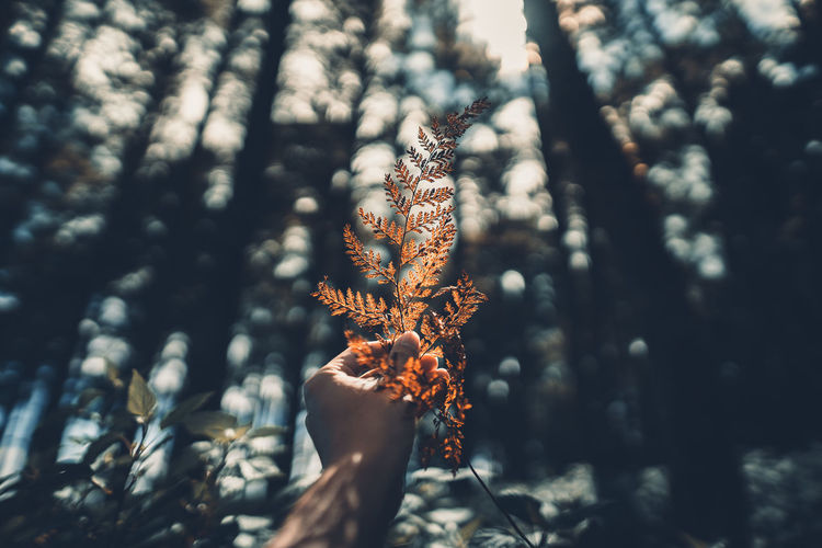 Conifer cone And fern in the jungle,Hand is holding Plant Tree Focus On Foreground Growth Nature Beauty In Nature Day No People Close-up Tranquility Land Forest Cold Temperature Outdoors Winter Selective Focus Sunlight Branch Autumn Fragility Change Coniferous Tree Leaves