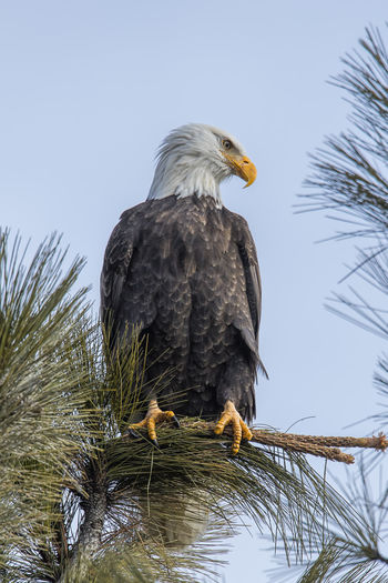 Low angle view of eagle perching on tree against sky