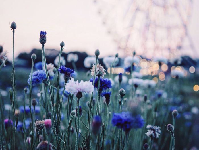 Dusk Depth Of Field Flowers Flowerporn Flower Collection Ferris Wheel Bokeh Nature_collection Nature Photography VSCO Vscogood Vscocam Eye4photography  EyeEm Best Shots