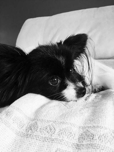 Papillon Furniture Bed One Person Relaxation Pets Indoors  One Animal Real People Leisure Activity Looking At Camera Home Interior Resting Lifestyles Vertebrate Domestic Animals Lying Down Portrait Human Face Domestic Sofa