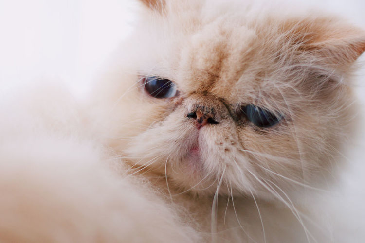 Processed with VSCO with c6 preset Mammal Domestic Animal Animal Themes Pets One Animal Domestic Animals Vertebrate Close-up Animal Body Part Persian Cat  Domestic Cat Cat Indoors  Animal Head  No People Whisker White Color Portrait Feline Small