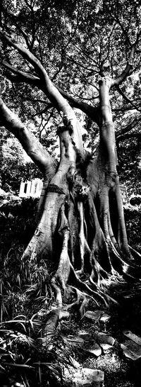 fig tree, Wendy wíaitlehs secret garden, Sydney, Australia Tree Black And White Monochrome Dramatic Low Section Water Shadow Sunlight