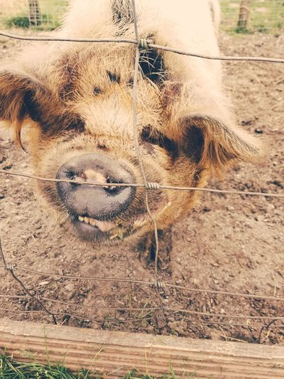 Piggy Day Outdoors No People One Animal Animal Themes Close-up Animals In The Wild Nature Mammal Pig Piggy Pet Portraits Domestic Animals Taking Photos Animal Wildlife The Week On EyeEm Samsung S8 High Angle View