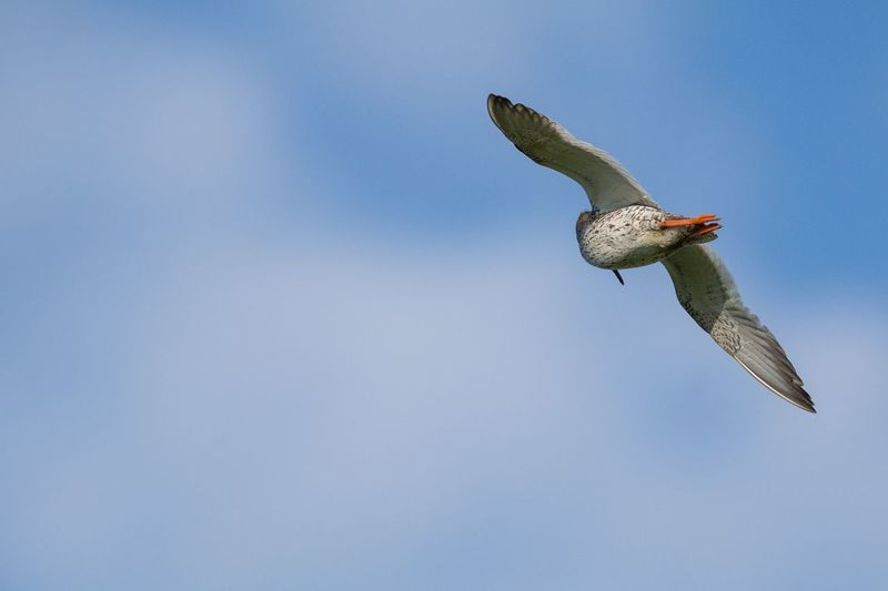 Redshank Sherleben Rotschenkel Schleswig-Holstein Nordsee Northsea Bird Photography Animal Animals In The Wild Animal Themes Vertebrate Animal Wildlife Bird Flying One Animal Sky Spread Wings Bird Of Prey