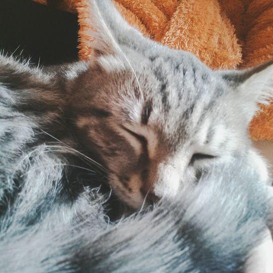 Cuddling... Kitten Egyption Mau Cat Enjoying Life Taking Photos Relaxing