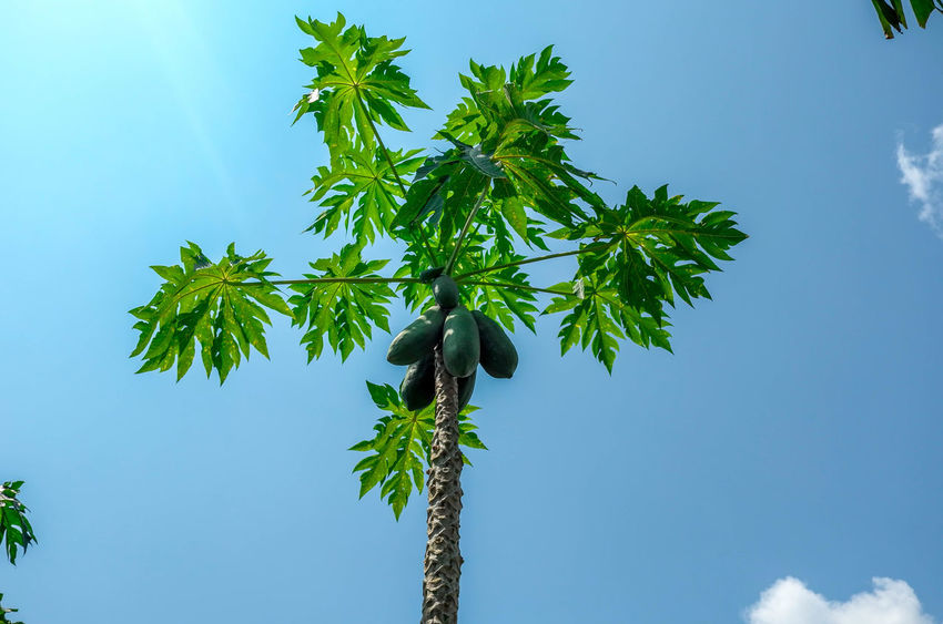Blue Clear Sky Growth Nature Papaya Papaya Leaf Papaya Tree Sky Thailand Tree