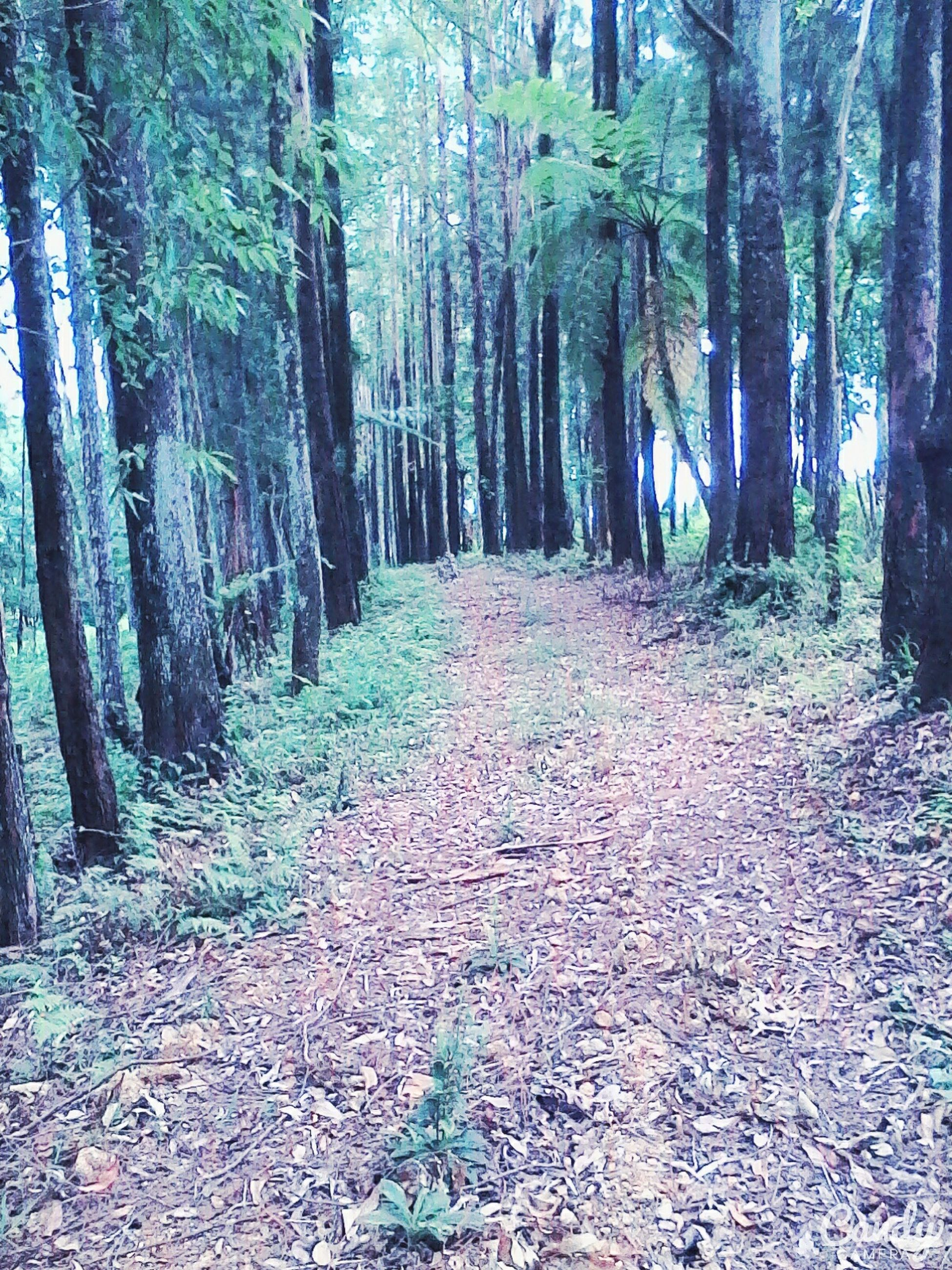 tree, forest, tree trunk, woodland, tranquility, the way forward, tranquil scene, nature, growth, beauty in nature, scenics, diminishing perspective, non-urban scene, landscape, woods, dirt road, day, vanishing point, outdoors, footpath