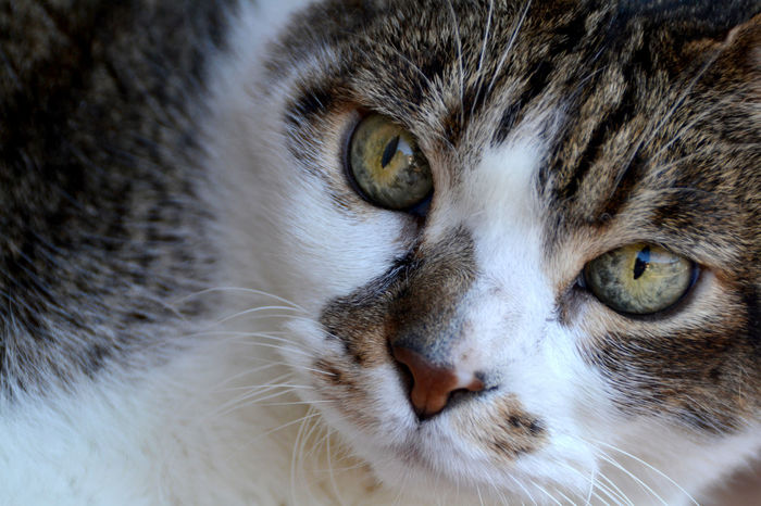 Closeup portrait of white and gray cat Animal Eye Animal Head  Backgrounds Cat Close-up Closeup Cute Cats Cute Pets Domestic Animals Domestic Cat Feline Fluffy Cat Furry Gray Gray And White Cat Kitten Looking At Camera Mammal Mascot Nose Pets Portrait Wallpaper Whisker White