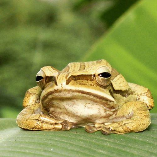 Lazy frog... malesh bingitz nih aku brow... 😁 😁 😁 Frog Amphibi Katakpohon Katak kodok bangkong macrophotography ig_macro