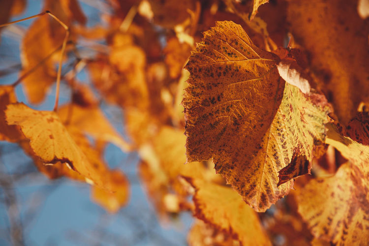 Autumn Colors Dumbraveni Sunny Autumn Beauty In Nature Change Close-up Day Dry Fragility Leaf Leaves Maple Maple Leaf Nature No People Orange Color Outdoors Suceava Vine