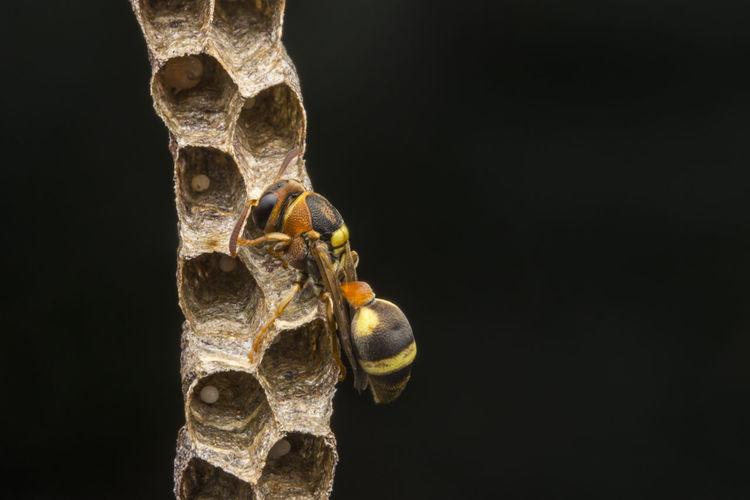 Ropalidia fasciata- paper wasp