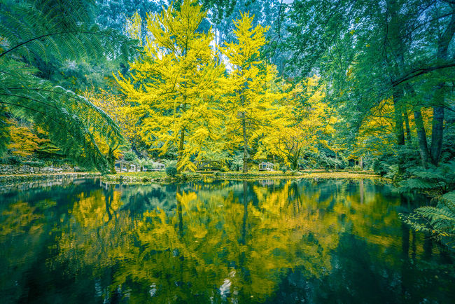 Tranquil settings of a pond and trees in Fall, Dandenong Ranges, Melbourne, Australia Alfred Nicholas Gardens Australia Australian Landscape Autumn Beauty In Nature Day Fall Green Color Growth Lake Lake View Leaf Nature No People Outdoors Reflection Scenics Standing Water Tranquil Scene Tranquility Tree Water Waterfront Yellow