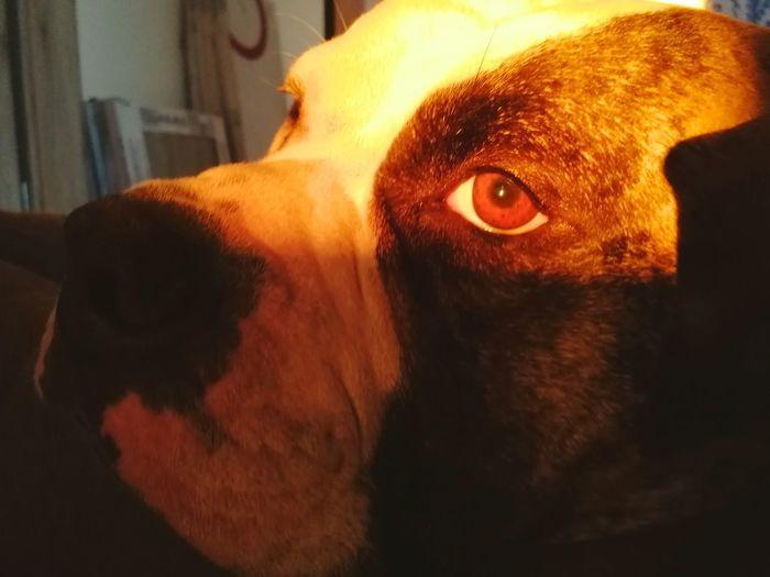 Sleeping Light Sun Sunlight Colors Pets Ambull Dog Breed American Bulldog Pets Dog Close-up Purebred Dog Animal Eye Bulldog Canine Animal Nose