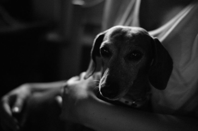 Dog Domestic Pets One Animal Close-up Black And White Dachshund Indoors  Looking Away Looking