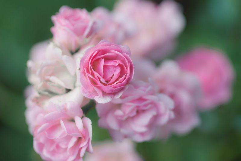 Rosé Nature Pink Color Flower Head Flower Peony  Pink Color Petal Rose - Flower Springtime Close-up Plant Pale Pink Blossom Bud Botany In Bloom Flowering Plant