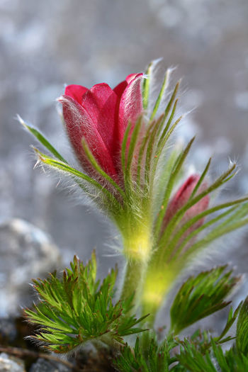 Pulsatilla Macro Beauty Pulsatilla Vulgaris Beauty In Nature Close-up Day Flower Flower Head Flowering Plant Focus On Foreground Fragility Freshness Green Color Growth Leaf Macro Nature Nature No People Outdoors Plant Plant Part Red Selective Focus Sepal Vulnerability