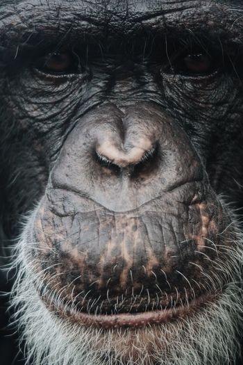 Close-up of chimpanzee