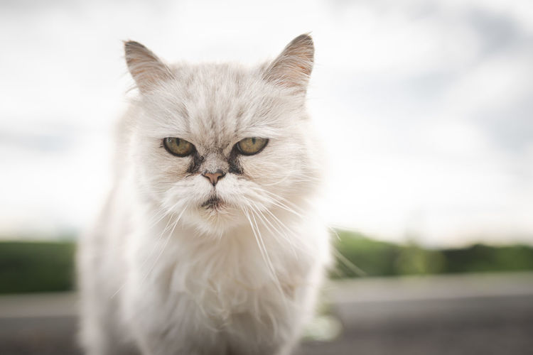 White persian cat with black tear stains under eyes. cat portrait in nature. cat eye care concept