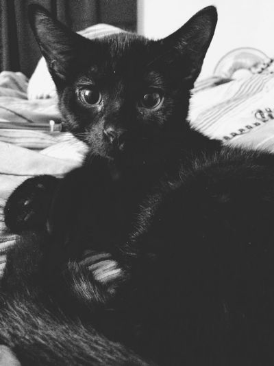Satellite ears. Can hear his food bag opening from miles away. Blackcatlove Blackcatsbringluck Brucewayne Brucewaynethecat Earssobig Vscocam VSCO