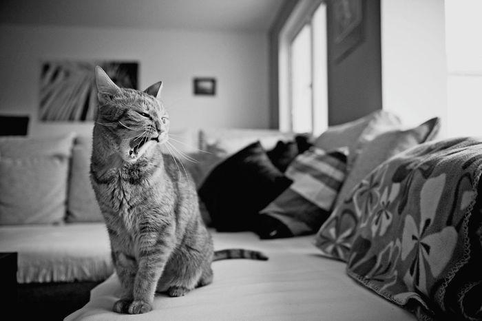 Monochrome Blackandwhite Cat Kitty B&w Animals Pet Ilovecats Jawnin Jawn