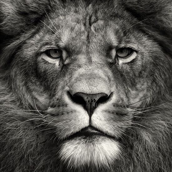 King Nature Lion Photography Animals Blackandwhite KingOfKings Kingofthejungle