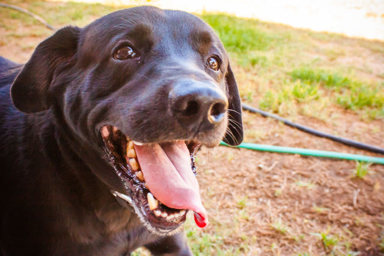 Animal Animal Head  Animal Nose Animal Themes Black Lab Canine Close-up Day Dog Dog Love DogLove Doglover Dogs Dogs Of EyeEm Dogs Playing  Dogs Playing Together Dogslife Dogstagram Dog❤ Domestic Animals Loyalty One Animal Outdoor Playtime Pets Playing Outside