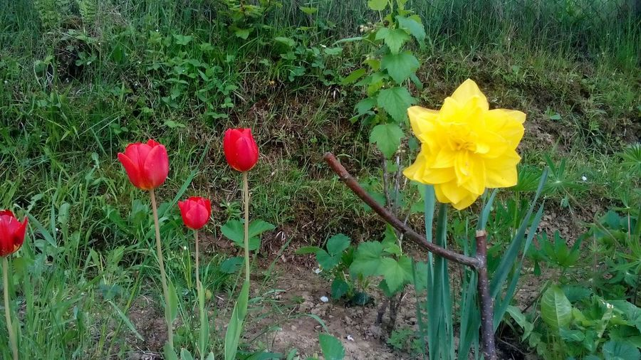 Flovers Tulipan A Narcis