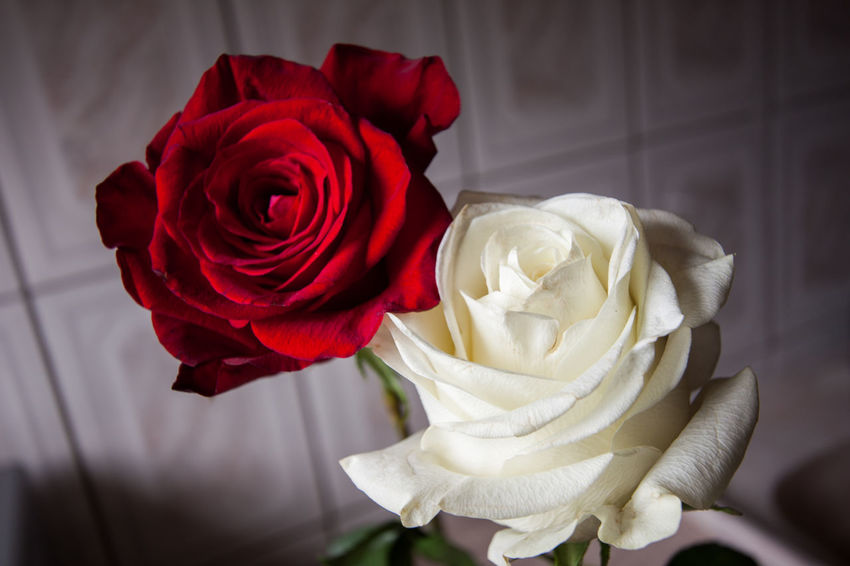 Red and White Rose Beauty In Nature Close-up Flower Flower Head Fragility Freshness Indoors  Nature Red Rosé Rose - Flower Softness Table White White Flower White Rose