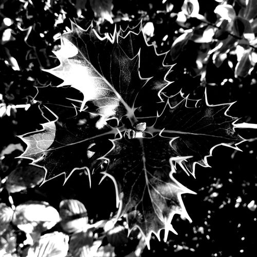 Christtorn Leaf Plant Nature Nofilter Eyemblackandwhite Huawei P9 Leica Black & White Christtorn Holly Outdoors Majestic Eyem Collection Norway EyeEm Best Shots EyeEm Best Shots - Black + White