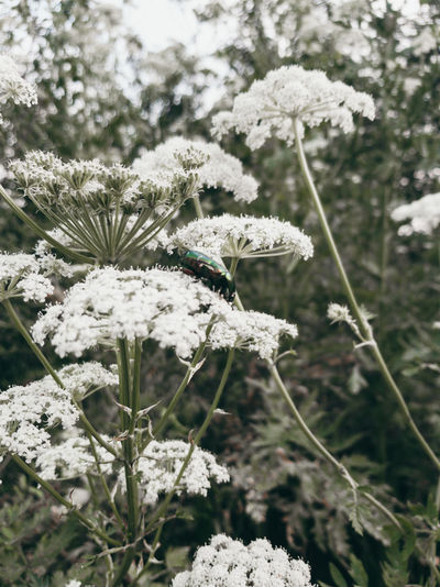 Close-up of white flowering plant on snow field