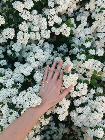 Flower Flowers White Purity Human Hand Palm Women Human Finger Close-up Peace Sign