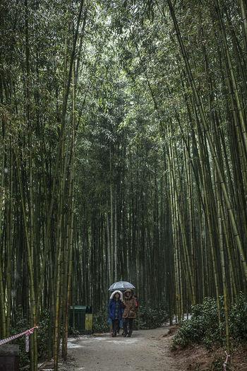 Damyang Juknokwon Bamboo Bamboo Forest South Korea Korea