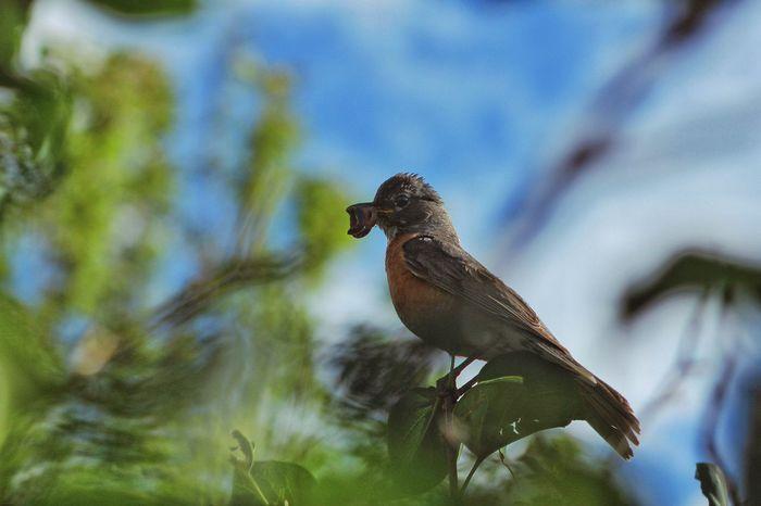 Bird Robin Early Bird Early Bird Gets The Worm Morning Morning Light Nature Outdoors Avian Leaves Worm Breakfast