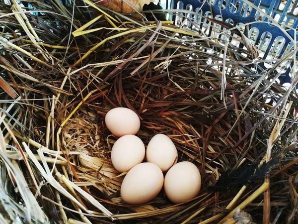 Egg Animal Egg New Life Nest Chicken Eggs Nature Thailand🇹🇭