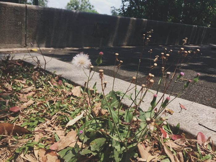 Dandelion Dandlions Plant Growth Nature Flower Flowering Plant Day Beauty In Nature Outdoors EyeEmNewHere