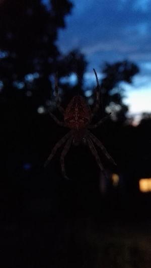 Gartenkreuzspinne am Abend :-)
