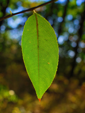 Summer season green single leaf hanging on tree branch. Green leaf front of blurry bokeh background Leaf Plant Part Green Color Growth Plant Nature Close-up Focus On Foreground Day Beauty In Nature No People Tree Outdoors Tranquility Leaf Vein Selective Focus Vulnerability  Freshness Leaves Purity Dew Rainforest