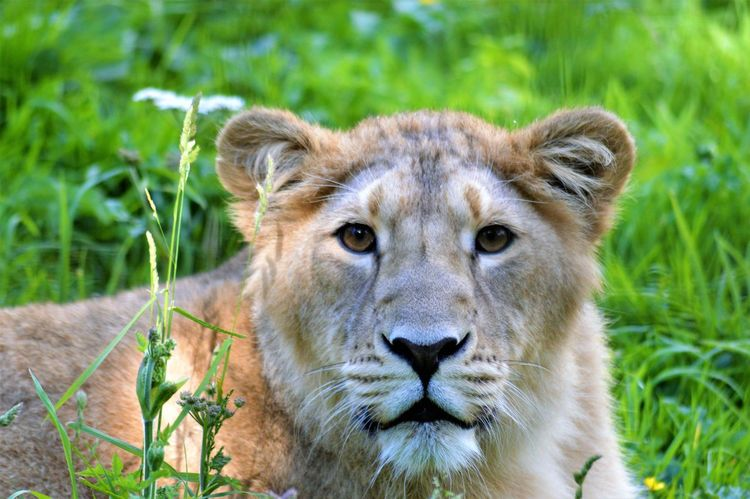 Gorgeous ♥ Animals In The Wild Close-up Lion - Feline Lioness Looking At Camera Piercing Eyes Safari Animals