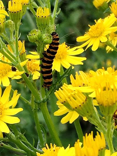 Cinnabar Caterpillar Lepidoptera Insect Entomology Wildlife Nature Common Ragwort Wildflower Plant Flowers Yellow Stripes Pattern Colour Of Life Color Palette Macro