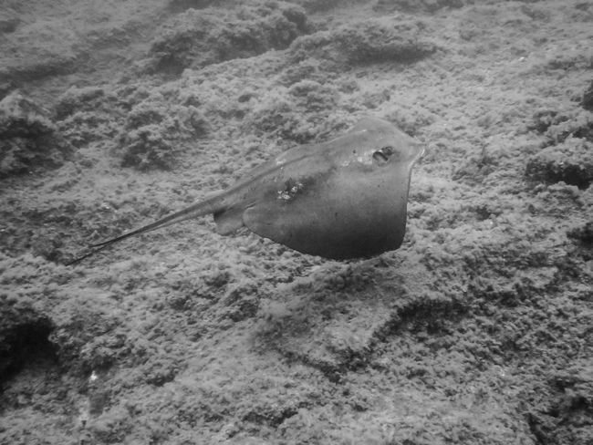 Beauty In Nature BSAC Fish Monochrome Nature SCUBA Stingray Underwater Photography