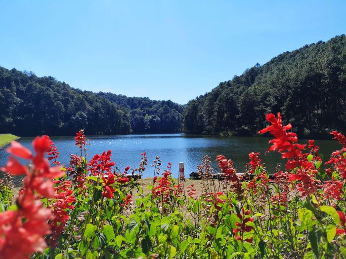 Pang Ung Lanna Thailand Forest Park Nature Adventure Mae Hong Son Dum Thai Forent Flower Head Flower Water Tree Poppy Lake Mountain Red Springtime Flowerbed