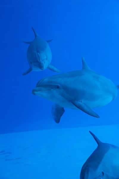 Group of three dolphins swimming corious Diving Dolphinarium Oltremare Riccione Swimming Under Water UnderSea Wild Animal Animals In The Wild Animol Blu Water Dolphin Dolphin Show  Group Of Animals Marine Nature Ocean Sea Sea Life Smile Smiling Swimming Tropical Climate Under Water Life UnderSea Water